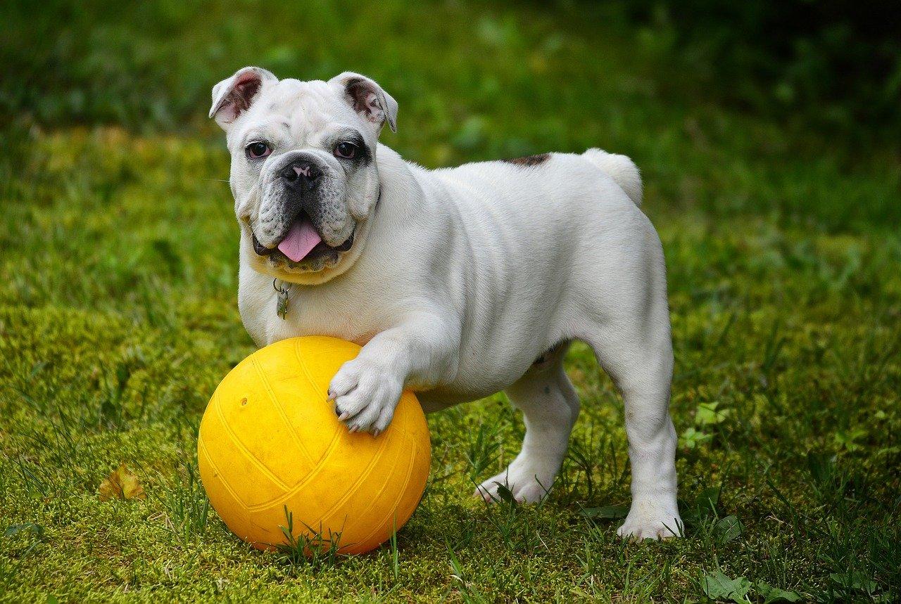 english-bulldog-562723_1280