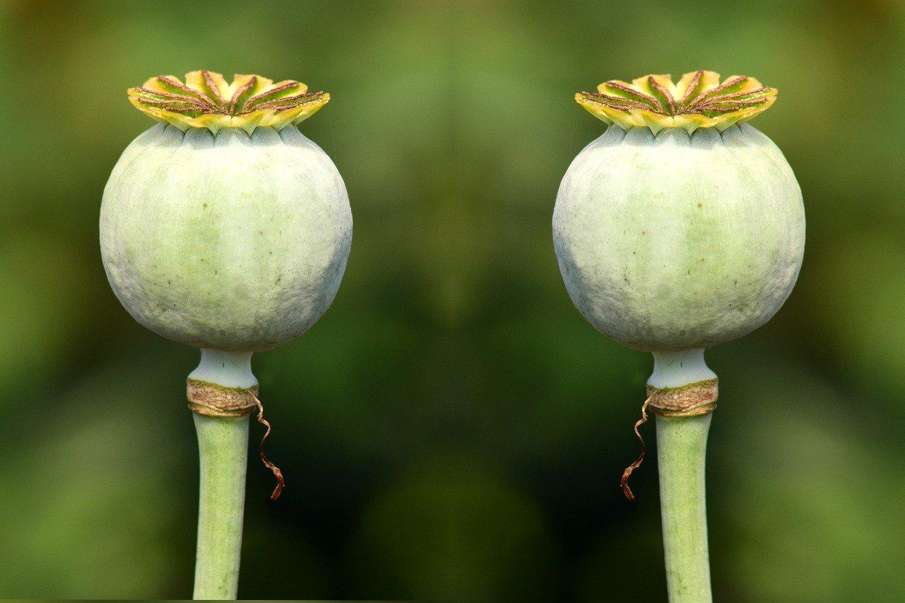 poppy-capsules-2492015_1280